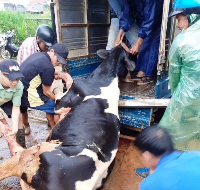 Lâm Đồng: Sét đánh chết gục 10 con bò sữa ngay tại máng ăn - Ảnh 1.